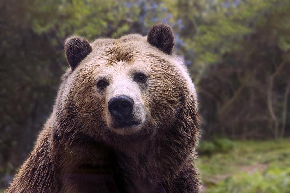Should Yellowstone grizzly bears be a protected species?