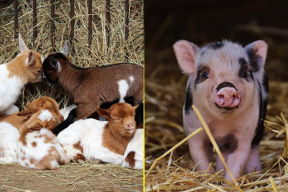 Which baby farm animal is cutest: Baby goat or baby pig?