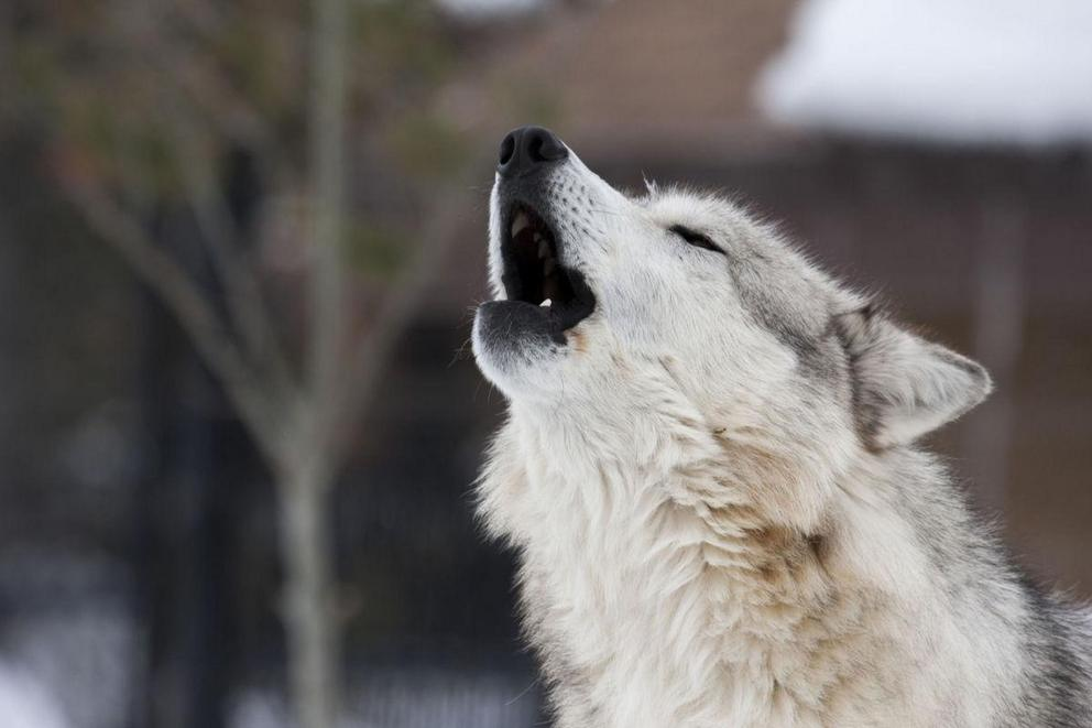 Should it be legal to hunt gray wolves?