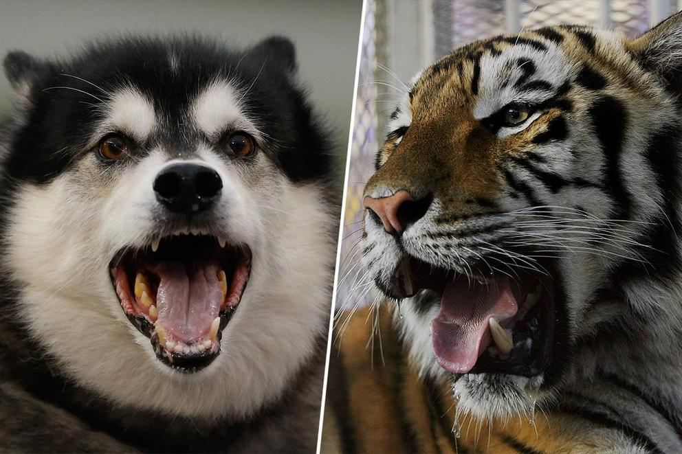 Best college mascot: Dubs or Mike the Tiger?