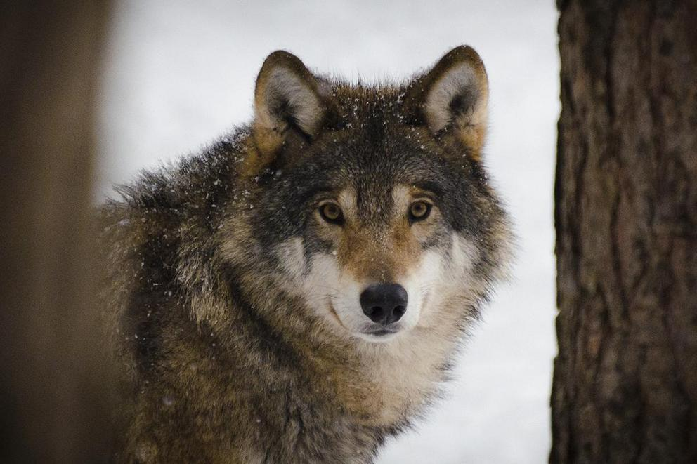 Should wolves be protected from hunting?