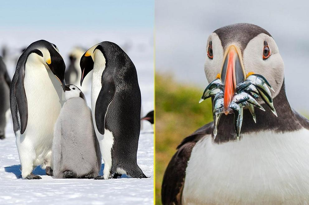Which animal is cuter: Penguins or puffins?
