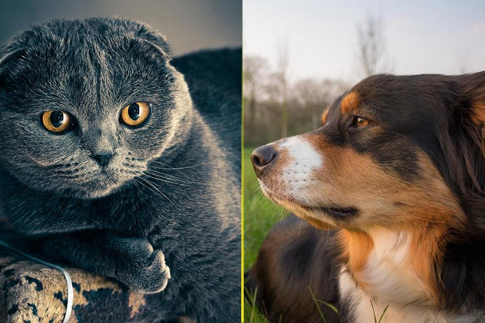 Which are better as pets: Cats or dogs?