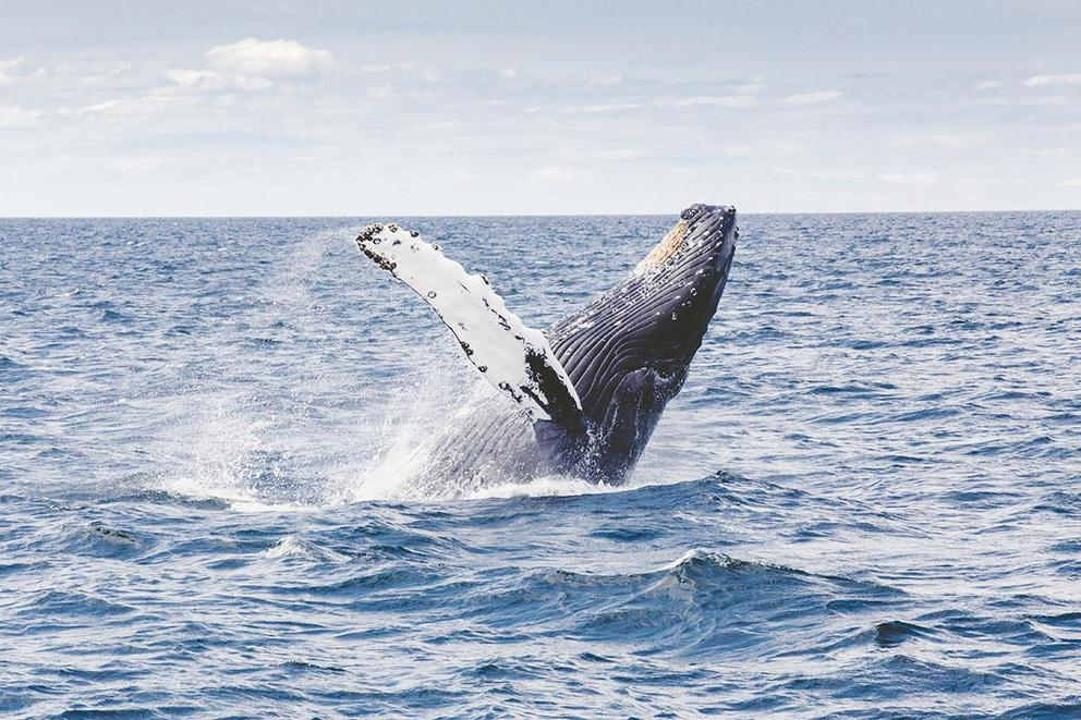Should whales be held in captivity?