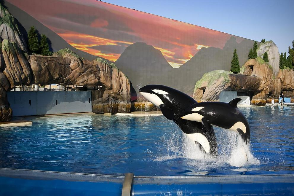 Should SeaWorld send its orcas to sea sanctuaries?