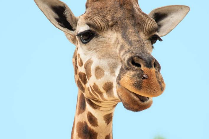 Where would a giraffe wear a tie: right below its chin or closer to its chest?