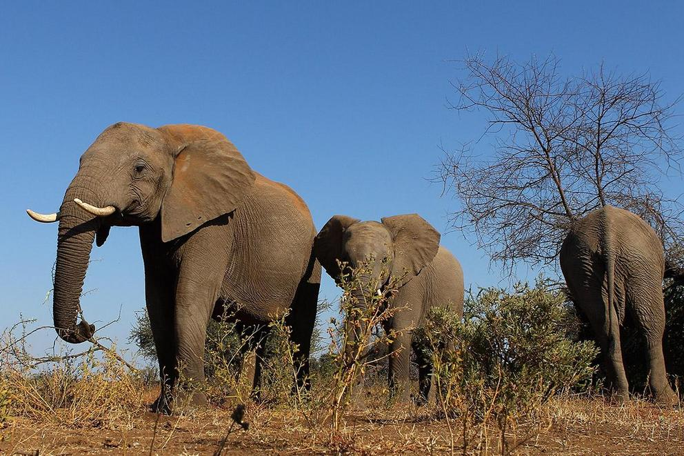 Should elephant culling be banned?