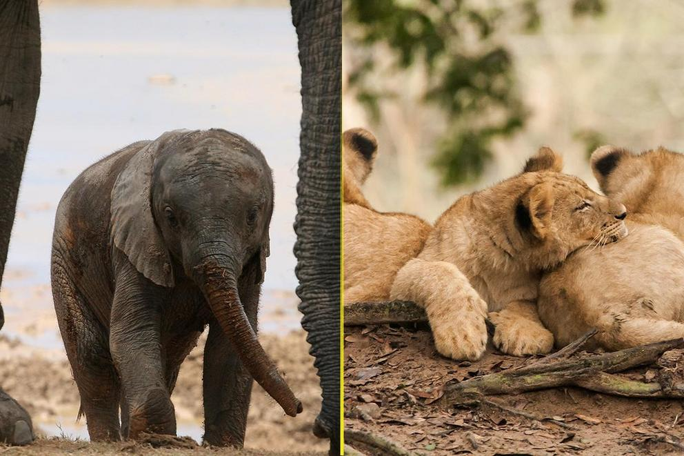 Which is cuter: Baby elephants or lion cubs?