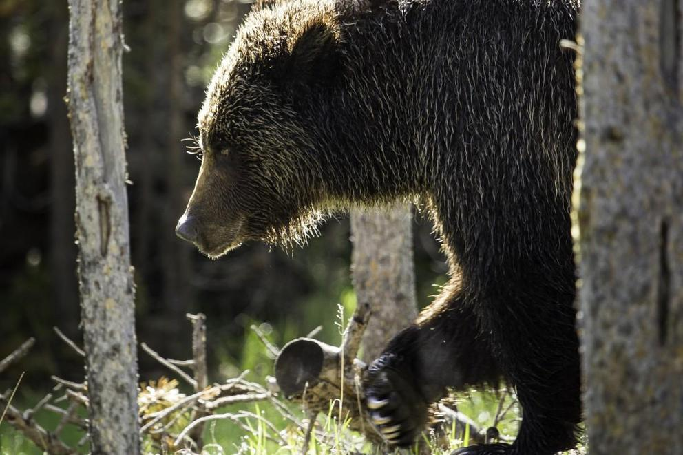 Should grizzly bears be protected from trophy hunting?