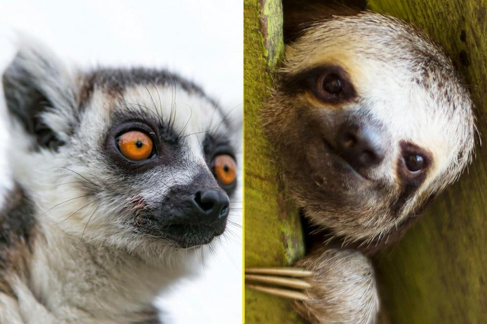 Lemurs or sloths?