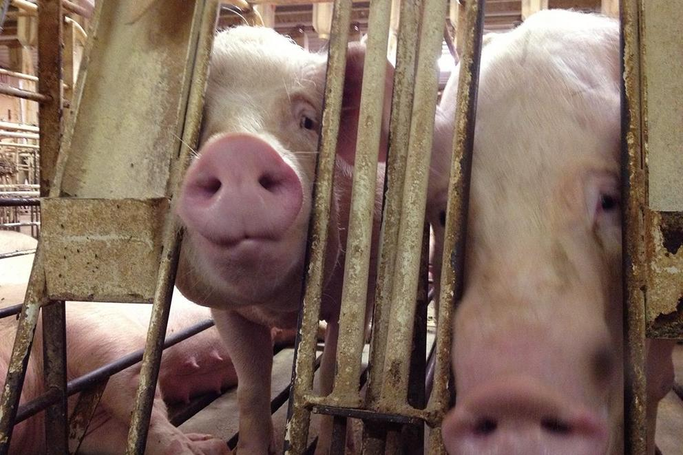 Should pig gestation crates be banned?
