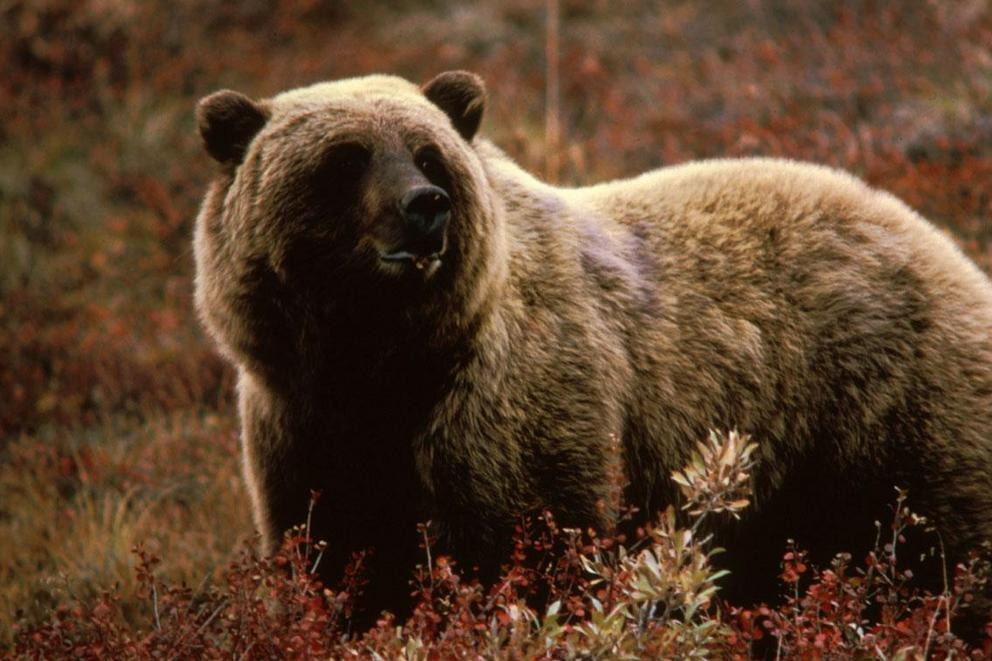 The Grizzly bear population is coming back. Should they be taken off endangered protection?